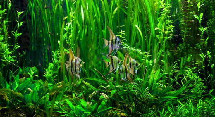 Reducing Algae in a Fish Tank